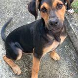 Maxwell, jeune chien mâle croisé créole, Chiot à adopter