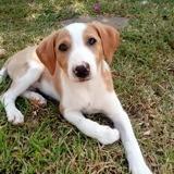 Tara, chiot femelle croisée créole, Chiot à adopter