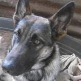 Orphee, Chiot berger allemand, berger belge à adopter