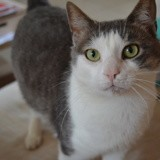 Sardine, Chat européen à adopter