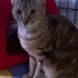 Mia, Chat européen à adopter