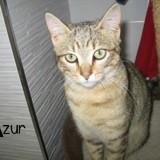 Azur, Chaton européen à adopter
