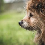 Aska, Chien spitz allemand, yorkshire terrier à adopter