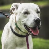 Ozzy, Chien dogue argentin, labrador retriever à adopter