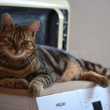 Mowgly, Chat européen à adopter