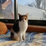 Marla, Chat européen à adopter