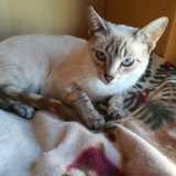 Bianca, Chat siamois à adopter