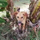 Paprika, chiot femelle créole, Chiot à adopter