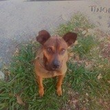 Tinou, Chien pinscher à adopter
