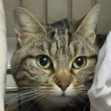 Olinda, Chat européen à adopter