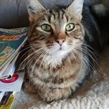 Nico, Chat à adopter