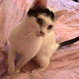 Vany, Chat européen à adopter