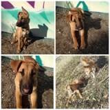 Badjer, Chiot bull terrier, husky sibérien à adopter