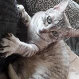 Nieska, Chat siamois à adopter