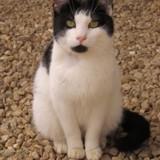 Nino, Chat européen à adopter
