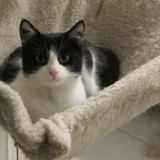 Nitro, Chat européen à adopter
