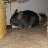 Chinchilla, Animal à adopter