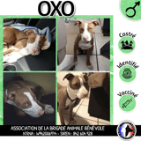 Oxo, Chiot american staffordshire terrier, cane corso à adopter