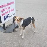 Gervora, Chien chien courant espagnol, jack russell terrier à adopter