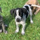 Pitoune, chiot femelle croisée créole, Chiot à adopter