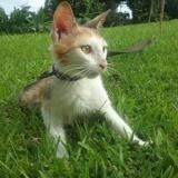 Pépite, jeune chat femelle croisée., Chat à adopter
