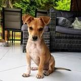Pilka, chiot femelle croisée créole, Chiot à adopter