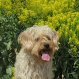 Cooky, Chien bichon à poil frisé, yorkshire terrier à adopter