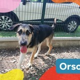 Orso, Chiot berger allemand, pointer anglais à adopter