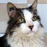 Sos bebert adorable senior, Chat à adopter