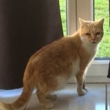 Ginger, Chat à adopter