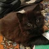 Chaton, Chaton à adopter