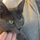 Sos grey, jeune chat ataxique, Chat à adopter