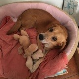 Snoopy, Chien à adopter