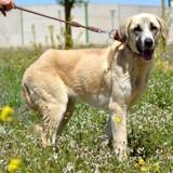 Anuska, Chien mastiff à adopter