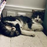 Oscar, Chat européen à adopter