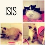 Isis, Chaton européen, siamois à adopter