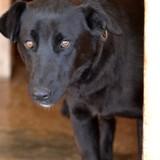 Ricki, Chiot chien courant espagnol, labrador retriever à adopter