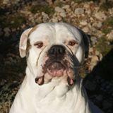 Oda, Chien bulldog à adopter