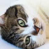 Marlon chat tigré/blanc de 3 ans, Chat à adopter
