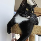 Grosbisosus chat blanc/noir de 2 ans 1/2, Chat à adopter
