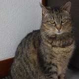 Urielle, Chat européen à adopter