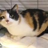 Livia, Chat européen à adopter