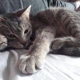 Ohlala, Chat européen à adopter