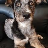 Suco réservé, Chiot border collie, chien courant espagnol à adopter