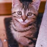 Hermione, Chaton européen à adopter