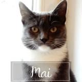 Maï, Chat européen à adopter
