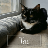 Taï, Chat européen à adopter