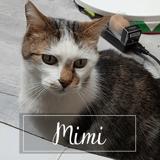 Mimi, Chat européen à adopter