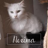 Nerima, Chat européen à adopter