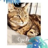 Opale, Chat européen à adopter